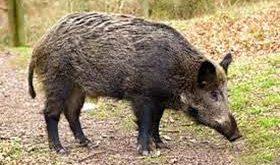 گوشت گراز کیلو ۸۰ هزار تومان